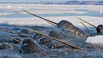 In the foreground, a group of narwhals, some with long spiral tusks, breaches the ocean surface in a gap between sea ice. Sea ice in the background is patchy, and a group of mountains sits on the distant horizon.