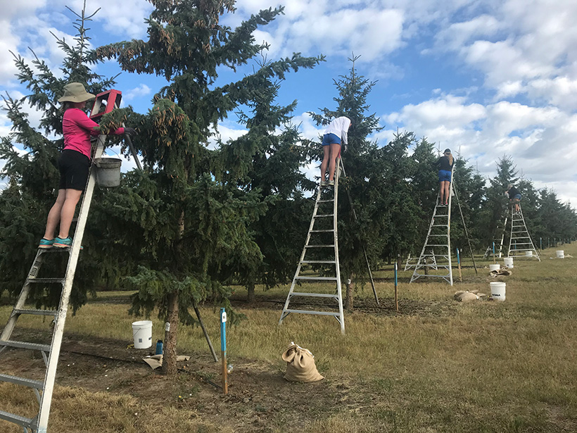 British Columbia forestry staff on ladders picking spruce cones in a seed orchard managed by the province