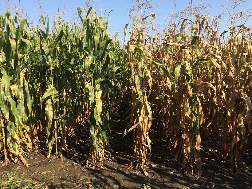 Photo of two corn hybrid species growing in a field. The adult hybrid plants at left are green, whereas the hybrid plants at right are yellow and dried.
