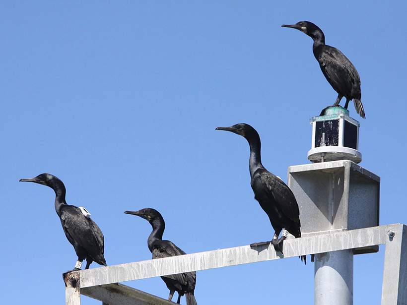 Four cormorants stand atop a channel marker.