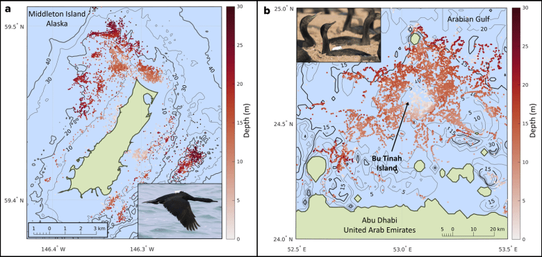 Diagram showing dive depths from biologging cormorants in the Gulf of Alaska and the Arabian Gulf, with species photos shown in insets