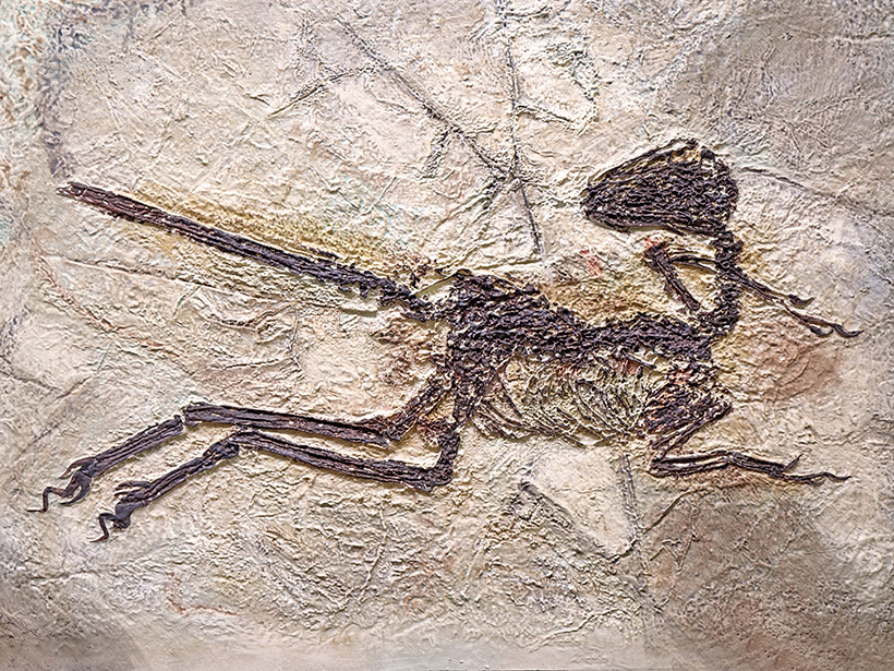 A fossil of Zhenyuanlong suni, a feathered dinosaur from the Early Cretaceous