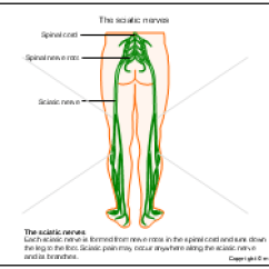 Diagram Of Sciatic Nerve Pathway Ecm Wiring The Nerves Ppt Powerpoint Drawing Diagrams, Templates, Images, Slides