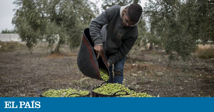US taxes on Spanish products: the Spanish olive oil industry suffers the impact of Trump's tariffs In English