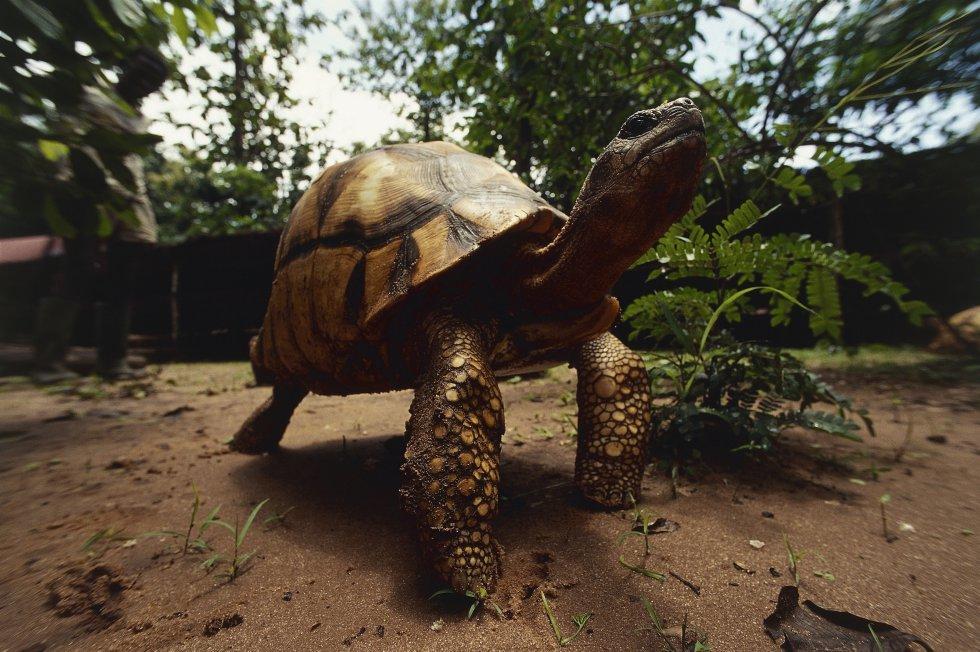 A tartaruga angonoka ('Astrochelys yniphora') conta com uma população de 400 indivíduos no noroeste de Madagascar. É uma das espécies em perigo crítico de extinção, segundo a Lista Vermelha. Mas não é a única: outras tartarugas também estão ameaçadas pela captura acidental em redes de pesca, pelo desaparecimento de seu hábitat com a invasão humana e pelo comércio ilegal. Estes animais se destinam principalmente ao setor alimentar de luxo, por seus ovos e sua carne.