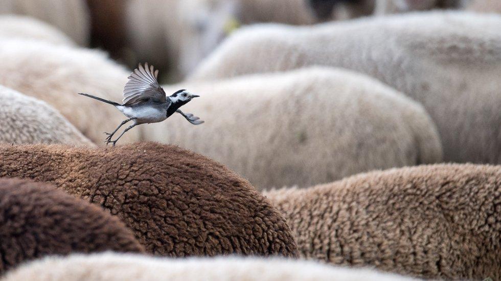 Una aguzanieves alza el vuelo desde el lomo de una oveja en Herrenberg (Alemania).