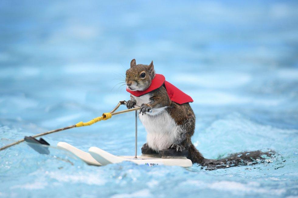 Twiggy, la ardilla que practica esquí acuático. El animal, séptimo en una línea de Twiggies que data de finales de los 70, está en su gira de despedida debido al retiro de su dueño, Lou Ann Best.