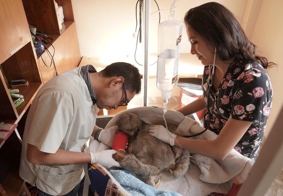 Los veterinarios Rodrigo Gómez y Sheyla Méndez atienden a un perezoso llamado Pancho, que fue atropellado por un vehículo, después de recibir cirugía en el refugio de animales Agroflor en Cochabamba (Bolivia).