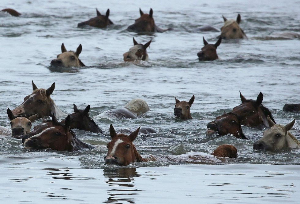 Ponis salvajes nadan a través del canal de Assateague en Chincoteague, Virginia.