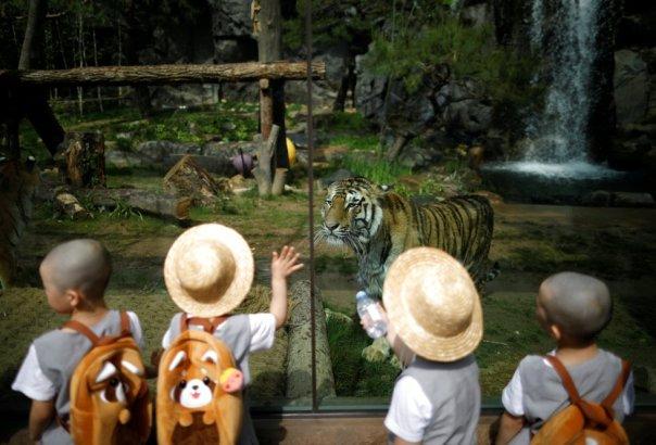 Un grupo de chicos que experimentan la vida de los monjes budistas al permanecer en un templo durante dos semanas como monjes novatos, miran a un tigre en el parque de atracciones Everland en Yongin (Corea del Sur). Kim Hong-Ji
