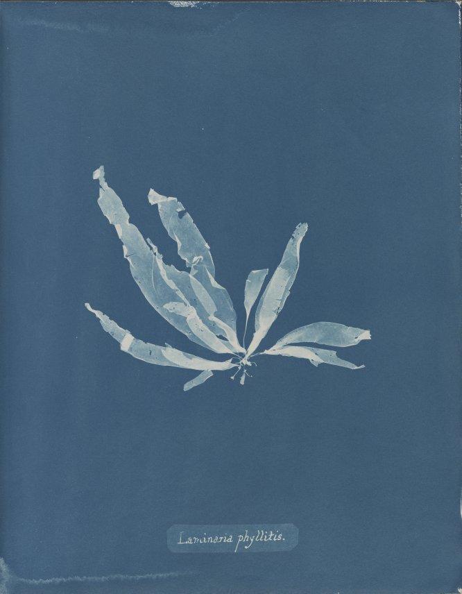 Laminaria phyllitis, de la Parte V de Photographs of British Algae,- Cyanotypes Impressions, 1844-1845