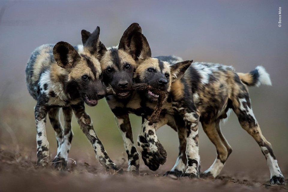 A pesar de que los perros salvajes adultos africanos son asesinos despiadados, sus cachorros son muy juguetones. Bence fotografió a estos hermanos en Mkuze (Sudáfrica). Todos querían jugar con la pierna de un impala e intentaban arrastrarlo en tres direcciones diferentes.