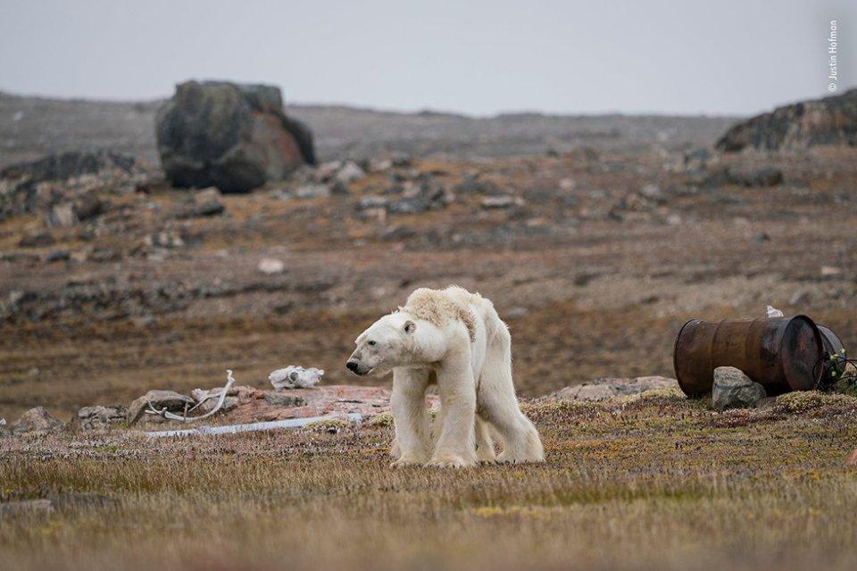 Un oso polar hambriento en un campamento de cazadores abandonado, en el Ártico canadiense, se levanta lentamente para ponerse de pie lentamente levantándose para ponerse de pie. Con poco y adelgazamiento de hielo para moverse, el oso no puede buscar comida. La ausencia de bloques de hielo impide al oso moverse para buscar comida.