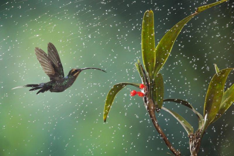 """""""Escucha al colibrí, cuyas alas no ves. Escucha al colibrí, no me escuches a mí"""". En uno de sus últimos poemas, Leonard Cohen evoca el vuelo vibrante y sonoro del colibrí, un ave diminuta y delicada, endémica de América. Conocidos también como picaflores, zumbadores o pájaros mosca, los colibríes son las aves más pequeñas del mundo, pero en proporción a su tamaño poseen un corazón gigante que late 158 veces por minuto y una lengua que duplica en longitud su largo pico y con la que liban el néctar de las flores con el que se alimentan. El colibrí mueve sus alas entre 60 y 90 veces por segundo, y para mantener ese vertiginoso aleteo, que se parece más al vuelo de los insectos que al de los pájaros y le permite desplazarse a más de 70 kilómetros por hora y volar hacia atrás, necesitan tomar cada día el doble de su peso en néctar. El que aparece en la foto, tomada en el comedero de aves de Cinchona, en Costa Rica, es un ermitaño verde ('Phaethornis guy'), una de las 300 especies de colibríes que existen."""