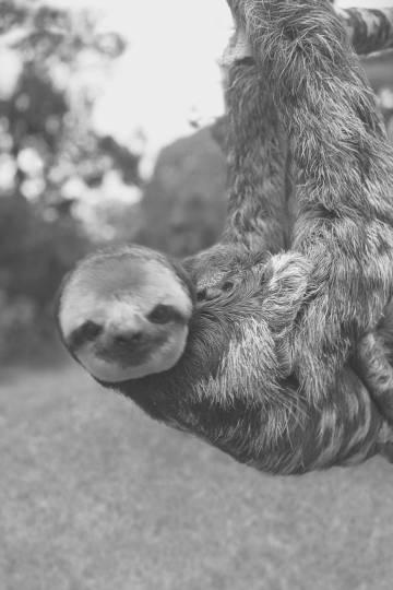 El perezoso capturado en Guyana.