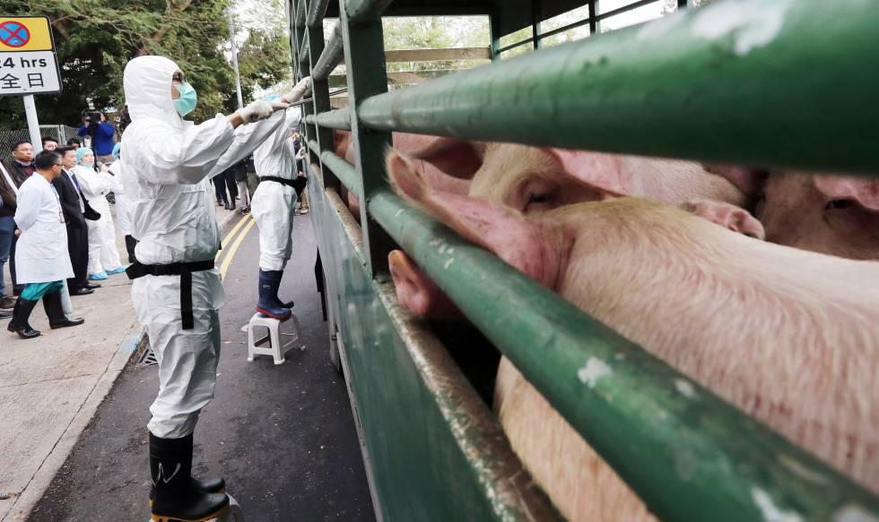 La epidemia de peste porcina se expande en China y dispara la ...