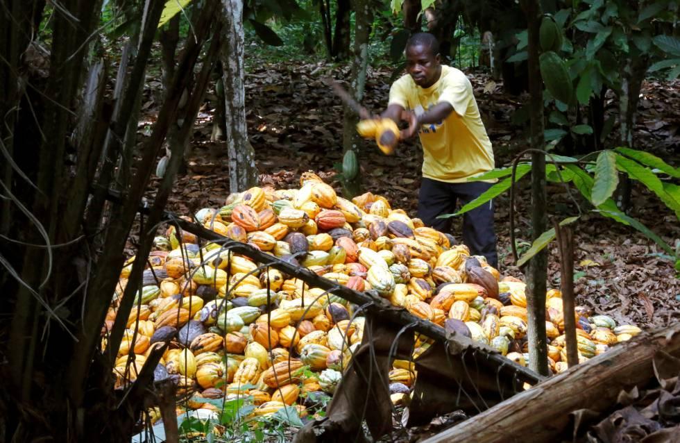 Colecta de frutos de cacao en Toumodi (Costa de Marfil).