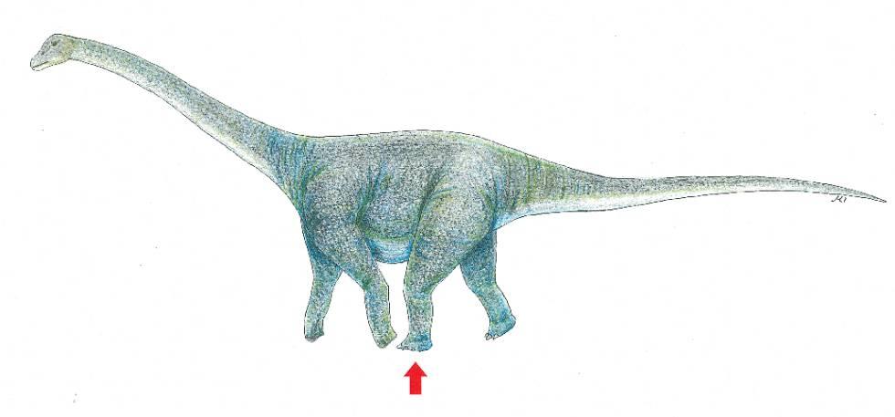 Reconstrucción del titanosaurio. La huella encontrada es la que señala la flecha.