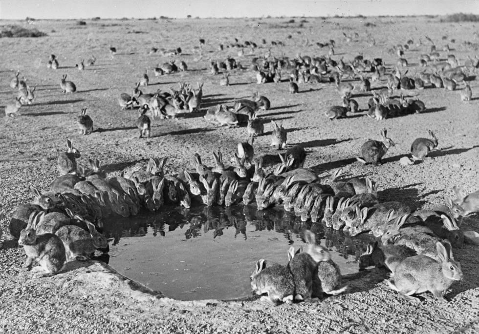 Coelhos foram uma praga na Austrália ao longo do século XX.