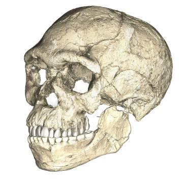Reconstrucción de un cráneo a partir de los restos de Jebel Irhoud.