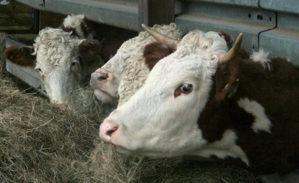 Vacas em uma fazenda de gado