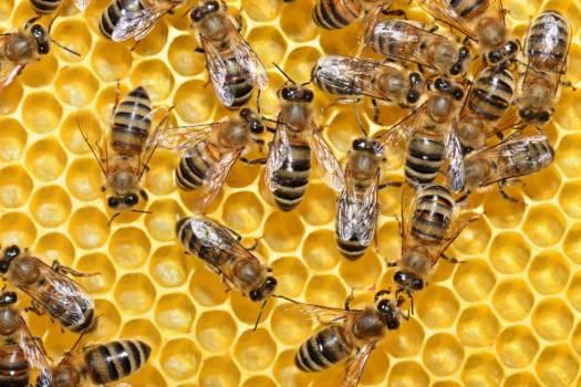 Las abejas son esenciales para cultivos como la alfalfa, las almendras y las fresas.