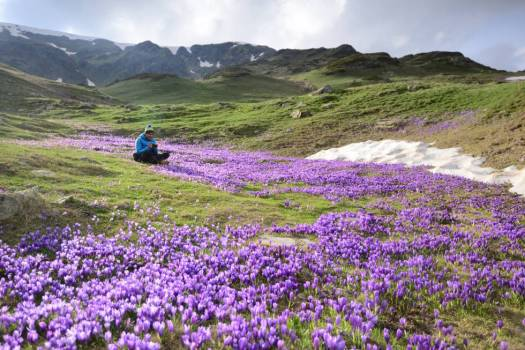 Senderista en una pradera cubierta de flores de croco.