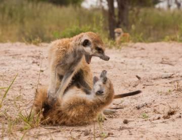 Uma briga entre dois suricatos.