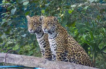 A monitoring camera shows the Mbarete and Arami puppies, born from the cross between Tania and Chiqui.
