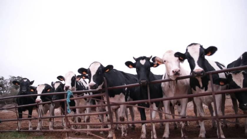 La leche procede de vacas zamoranas y es recogida por la empresa Leche Gaza