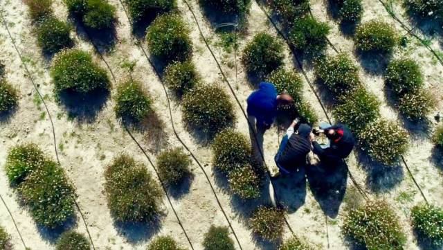 Plantación de terfecias en la Finca Torrecillas (Murcia).