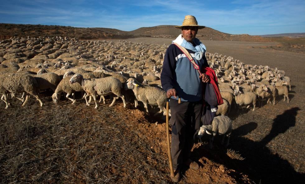 Hassan Bellahmama en el campo de Alfambra con un rebaño de 1.000 ovejas la semana pasada. Este inmigrante marroquí trabaja como pastor en el pueblo turolense desde el año pasado.