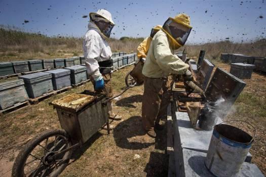 El apicultor Néstor Pascual recolecta la miel de su colmenar, en la desembocadura del Río Mijares en Castellón.