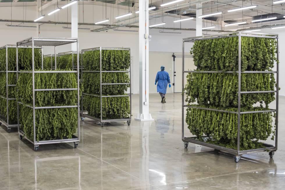 Trabalhadores desfolham as plantas até deixarem somente a flor.