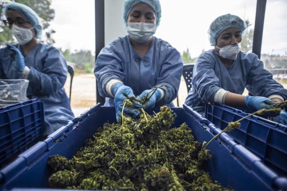 A flor da cannabis concentra seus ingredientes ativos, os cannabinoides.