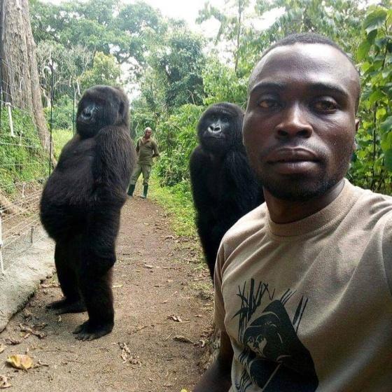 As gorilas Ndeze (esquerda) e Ndakasi (direita) posam com Mathieu. No fundo, seu colega Patrick