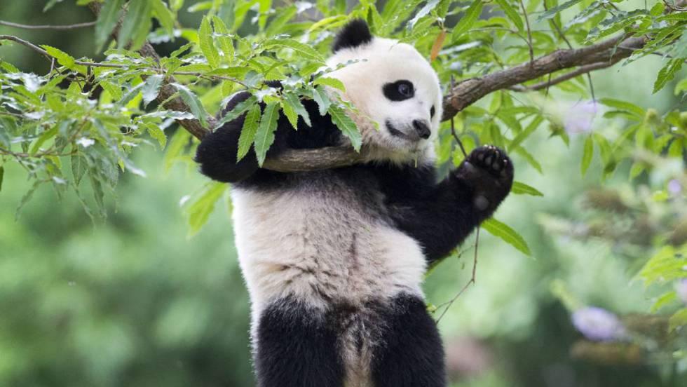 Fotos Del Oso Panda Oso Panda La Tala Est Acabando Con