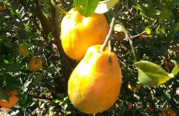 Tangerina ponkan fruto afetado pelo greening blog