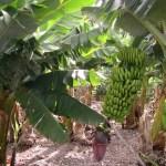 खोरिया फाँडेर केरा खेती : वर्षौँ बाँझिएको जमीन हरियाली
