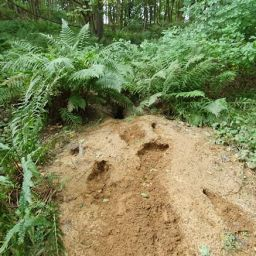 A badger sett found as part of ecological consultancy surveys
