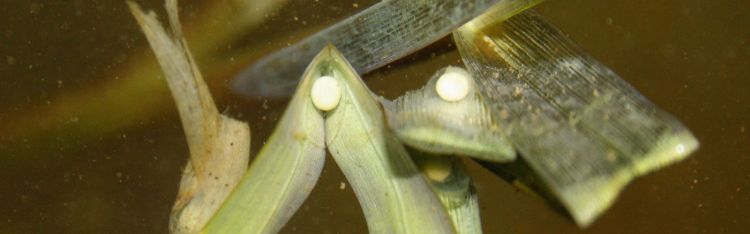 Great crested newt eggs are bright white or yellowish in colour and are wrapped in leaves when laid.