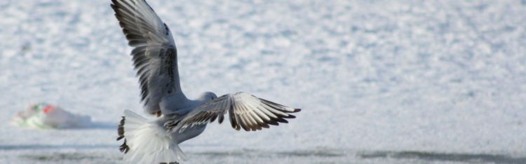January is an optimal time to undertake wintering bird surveys.
