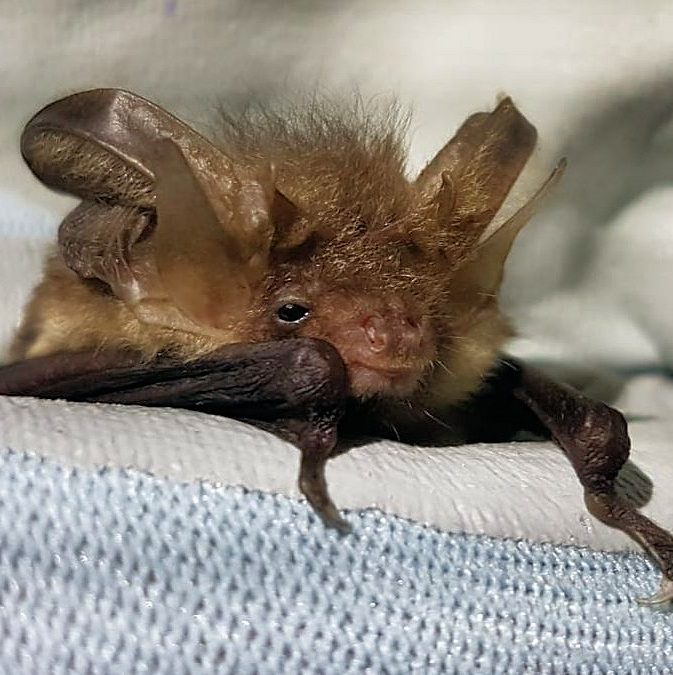 A brown long-eared bat.
