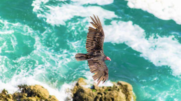 aves costa de mar pajaros condor andino