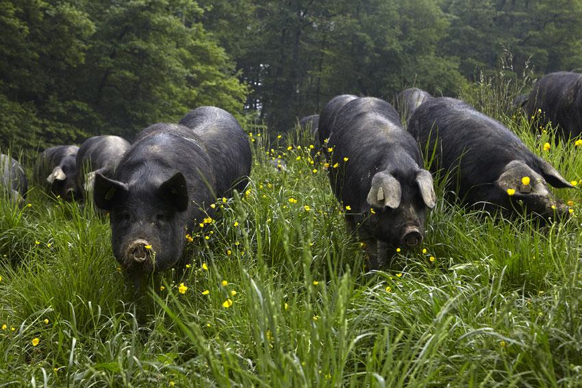 Cochons élevés en plein air