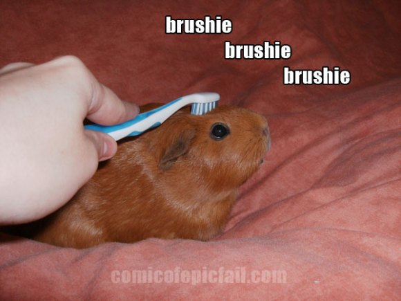 brushie brushie brushie guinea pig by amuletts of the webcomic epic fail