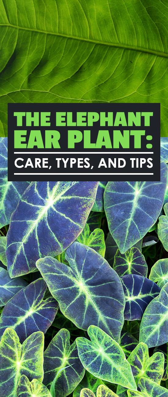 Elephant Ear Fertilizer