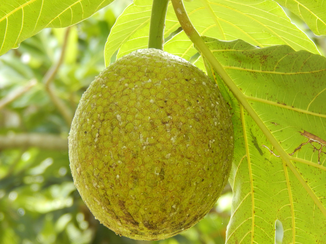 5 Reasons the Breadfruit is Jamaica's Superfood