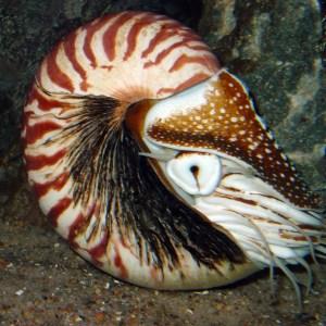 A chambered nautilus