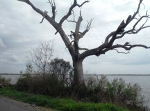 Dead oak tree at water's edge and road's edge.
